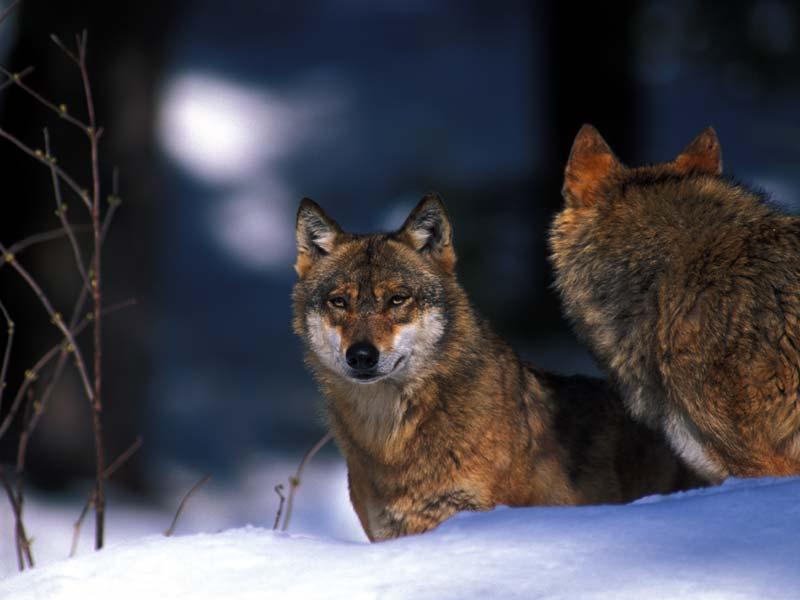Dopo 50 anni torna la caccia al lupo: secondo Lav, anche ai cani